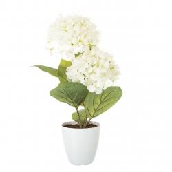 Planta hortensia blanco algodon en maceta de plastico 12 x 44 cm.